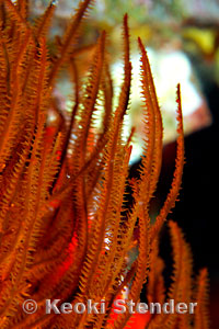 Black And Red >> Hawaiian Black Coral, Antipathes griggi