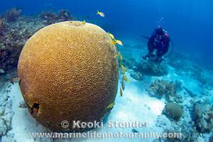 Boulder Brain Coral Colpophyllia Natans