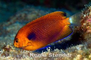 Fisher's Angelfish, Centropyge fisheri