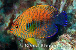 Image gallery hawaii fish for Fish species hawaii