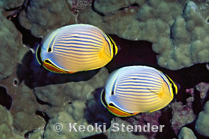 Oval butterflyfish - photo#23