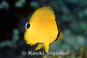 Black And Red >> Black-backed Butterflyfish, Chaetodon melannotus