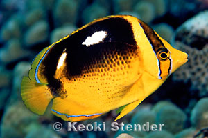 Fourspot Butterflyfish, Chaetodon quadrimaculatus