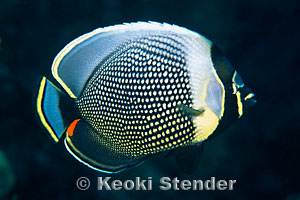 Reticulated Butterflyfish Chaetodon Reticulatus