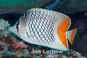 Crosshatch Butterflyfish, Chaetodon xanthurus
