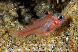 Hawaiian Ruby Cardinalfish, Apogon erythrinus