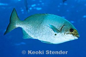 Endemic hawaiian fishes page 1 for Edible hawaiian fish
