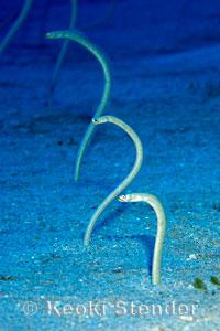 Hawaiian Garden Eel, Gorgasia hawaiiensis