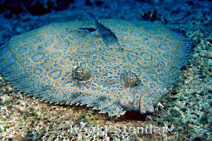 Flowery Flounder, Bothus mancus