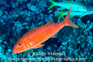 Orange Goatfish, Mulloidichthys pfluegeri