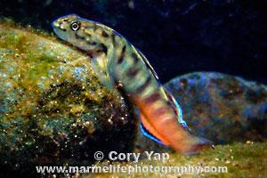 Bicolored Streamgoby, Lentipes concolor, 'O'opu alamo'o