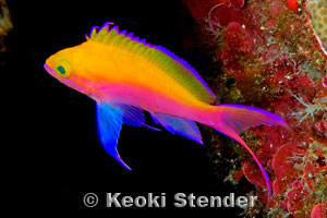 Picture Of Hawaii >> Bicolor Anthias, Pseudanthias bicolor