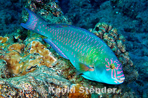 Stareye Parrotfish Calotomus Carolinus