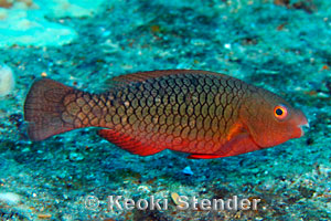 Redlip Parrotfish, Scarus rubroviolaceus