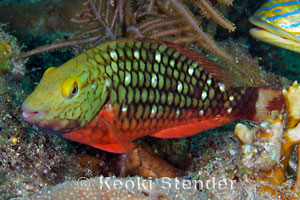 Stoplight Parrotfish Sparisoma Viride
