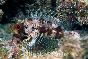 Scorpionfishes & R...