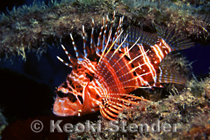Hawaiian Red Lionfish Or Turkeyfish Pterois Sphex