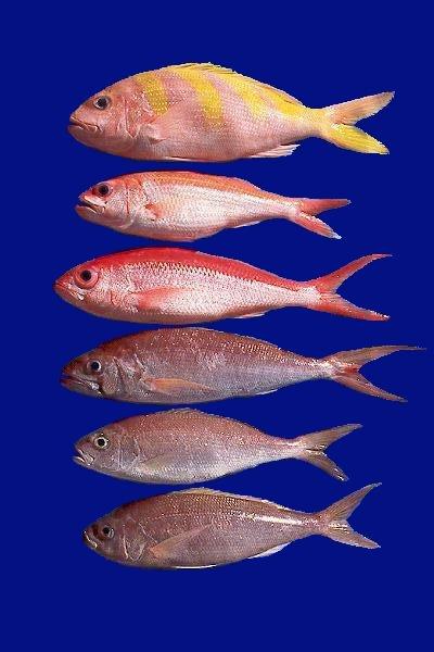 Hawaii S Deep Seven Bottomfish Species