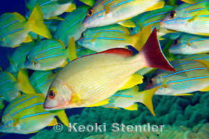 Blacktail snapper lutjanus fulvus for Edible hawaiian fish