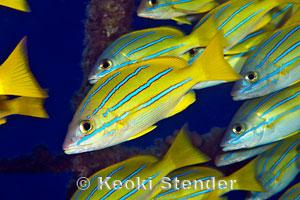 Bluestripe snapper lutjanus kasmira for Edible hawaiian fish