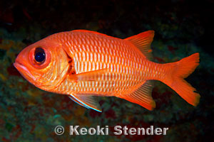 Family holocentridae squirrelfishes soldierfishes for Big eye squirrel fish