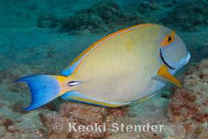 Dussumieri tang exotics fish loricula flame pygmy for Edible hawaiian fish