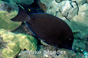 Bluelined Surgeonfish,...