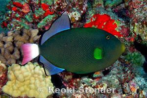 pinktail triggerfish melichthys vidua