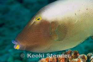 Bridled triggerfish sufflamen fraenatum for Bottom fishing oahu