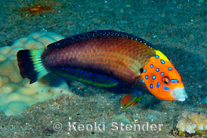 Psychedelic Wrasse Anampses Chrysocephalus