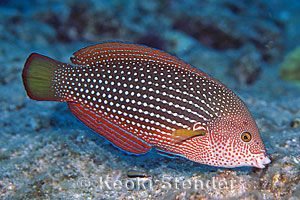 Pearl Wrasse, Anampses cuvier