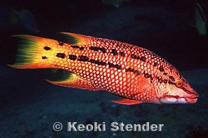 Mexican Hogfish Bodianus Diplotaenia