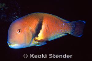 scarbreast tuskfish choerodon azurio