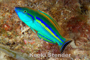 Smalltail or Pencil Wrasse, Pseudojuloides cerasinus