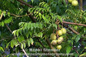 Anacardiaceae Mango Family