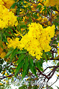 gold tree tabebuia donnellsmithii