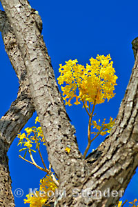Gold Tree Tabebuia Donnell Smithii