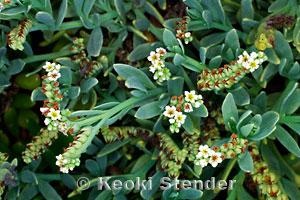Seaside Heliotrope, Heliotropium curassavicum