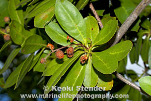 Green Buttonwood Or Button Mangrove Conocarpus Erectus