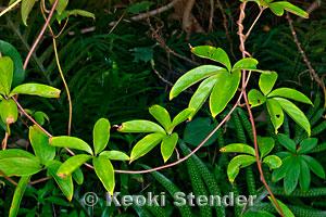VƯỜN CÂY HOA ĐV I - Page 20 Dioscorea-pentaphylla
