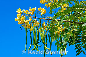 Gold Medallion Tree, Cassia leptophylla