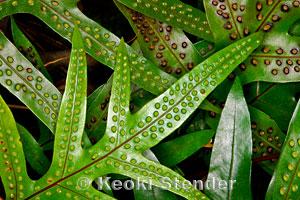 Maile-scented Fern, Laua'e, Phymatosorus grossus