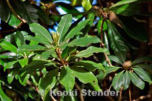 pittosporaceae pittosporum family