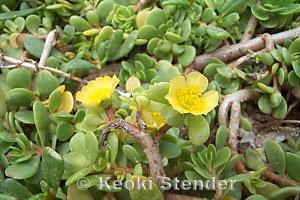 Portulacaceae, Purslane Family