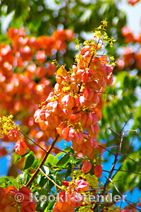 Golden Rain Tree Koelreuteria Elegans Subsp Formosana