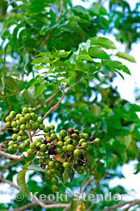 soapberry a e or manele sapindus saponaria