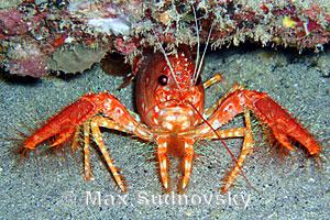 Red Reef Lobster, Enoplometopus occidentalis