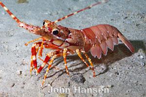 Long Handed Spiny Lobster Justitia Longimana