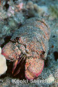 Scaly Slipper Lobster, Scyllarides squammosus