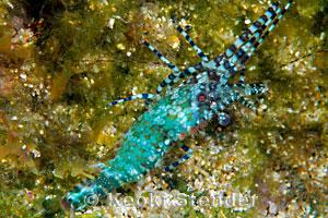 Marbled Shrimp Saron Marmoratus